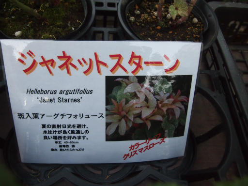 20150111・植物7-2・ジャネットスターン