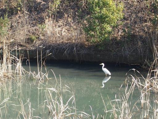 20150211・散歩22・白鷺