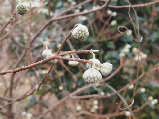 20150125・植物4・ミツマタ