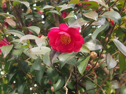 20150125・植物1・サザンカ