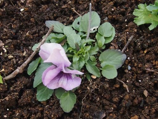 20150125・植物3・セントポーリア