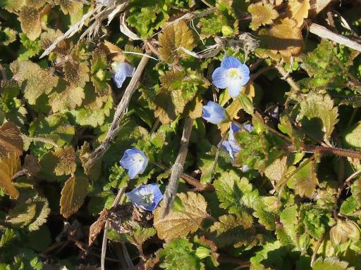 20150211・狭山湖周辺植物2・オオイヌノフグリ