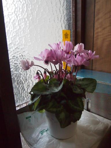 20150131・荒幡富士植物5・我が家のシクラメン1