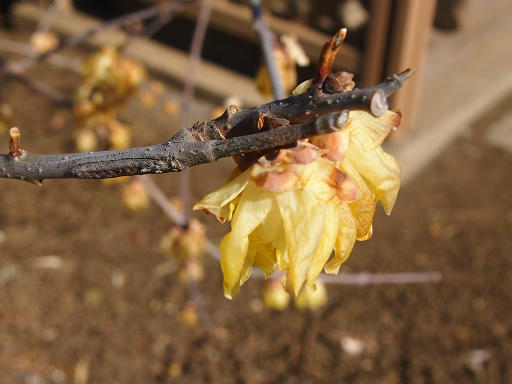 20150211・狭山湖周辺植物4・ソシンロウバイ