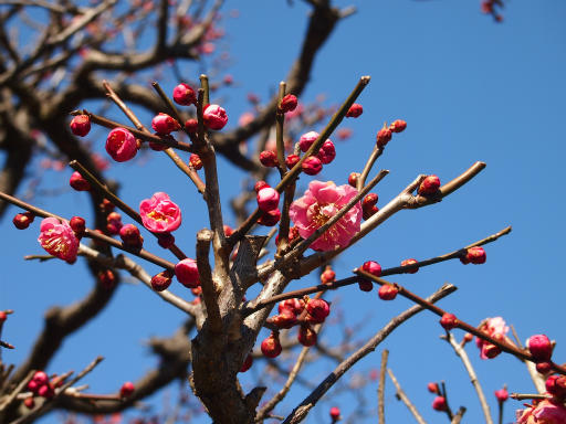 20150211・狭山湖周辺植物5・ウメ