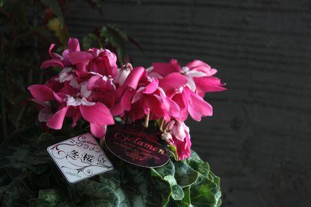 シクラメン・冬桜