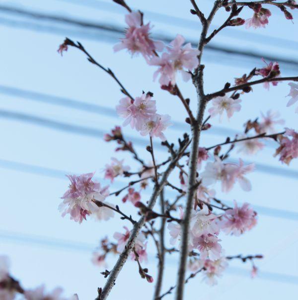 十月桜開花中
