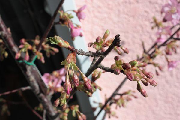 我が家の河津桜開花!