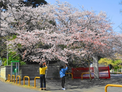 「国分寺の桜」①_R