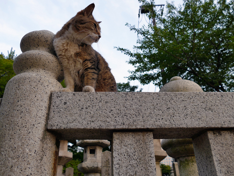 玉垣のキジ白猫1