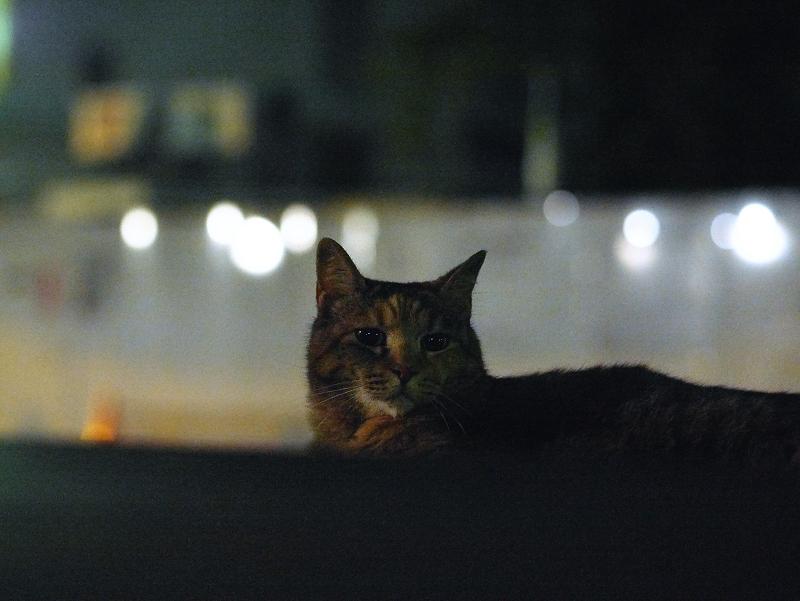 夕暮れと光の猫
