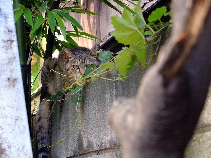 ブロック塀のキジトラ猫