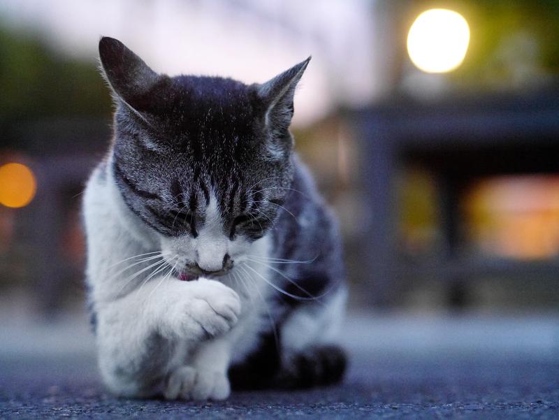 夕暮れの境内キジ白猫1