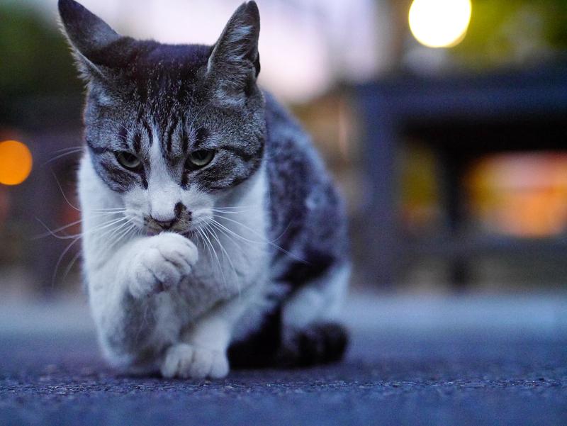 夕暮れの境内キジ白猫2