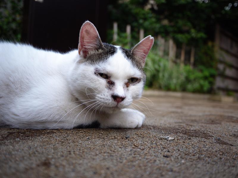 境内の白キジ若猫1