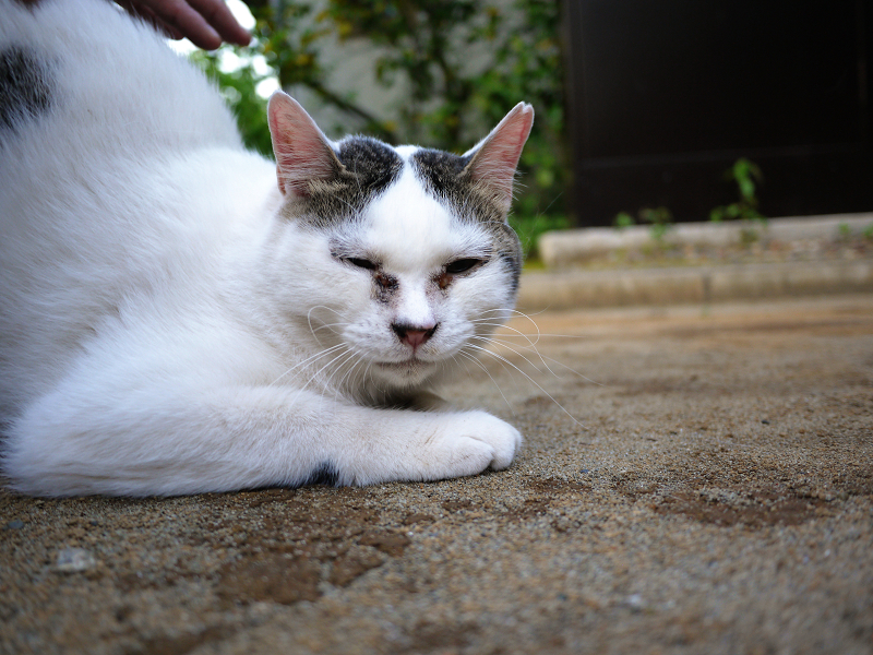 境内の白キジ若猫2