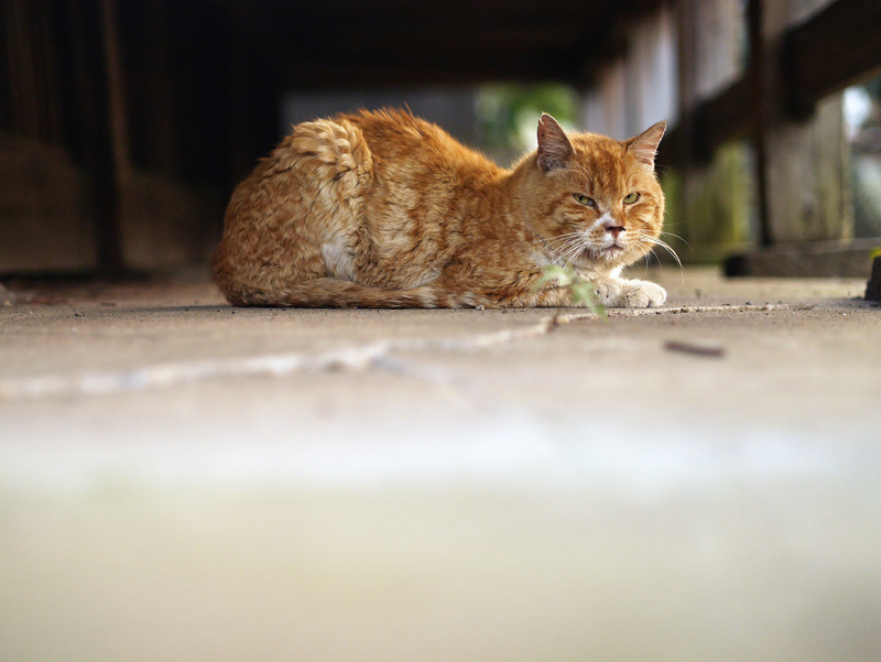 濡れ縁の下の茶トラ猫1