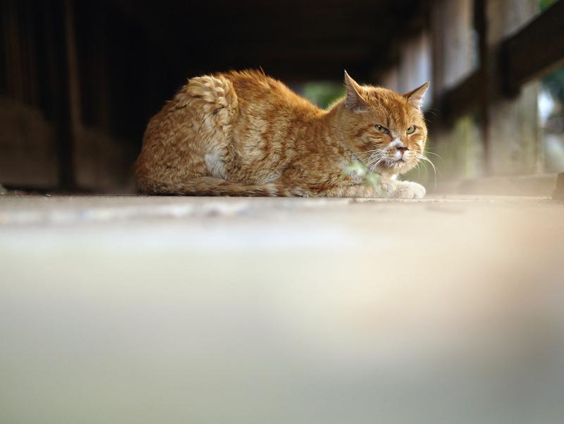 濡れ縁の下の茶トラ猫2
