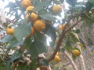 檸檬1501