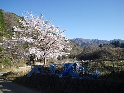 駐車場脇の桜