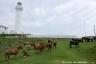 寒立馬と尻屋崎灯台