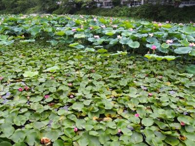 千秋公園蓮&スイレン