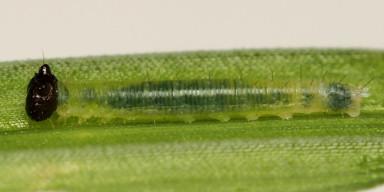 384-ヒメジャノメ?幼虫孵化4_5mm-2015-07-30-OMD09266
