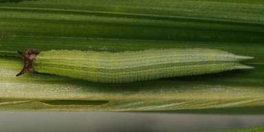 384-ヒメジャノメ?幼虫15_5mm-2015-08-07-OMD09515