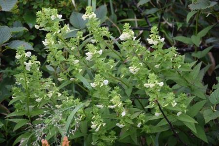 8清水平附近の花