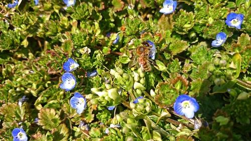 オオイヌノフグリとミツバチ