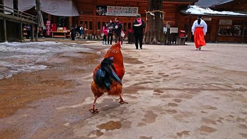 穂高神社の境内のチャボ2
