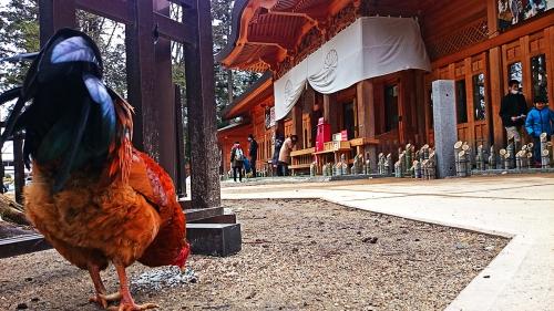 穂高神社境内のチャボ1