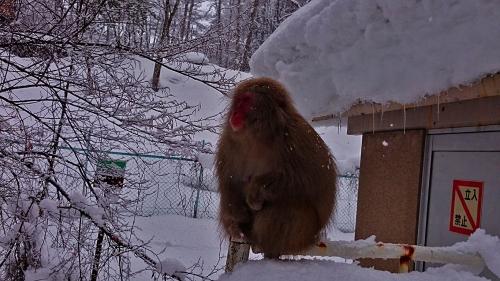 冬場のモコモコのお猿