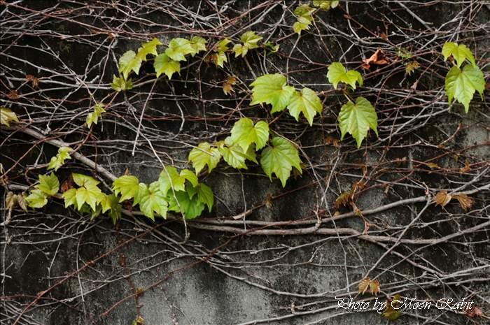 蔦 西条高等学校 愛媛県西条市明屋敷 4月の植物