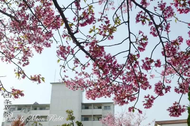 ほとりでさんぽ 桜