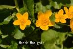 DSC_2268_1_marsh marigold_aa
