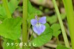 DSC_0609_nii_kappu_tachitsubo_sumire_1as.jpg