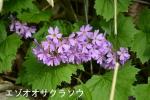 DSC_0654_moto_urakawa_ezo_oosakuraso_1as.jpg