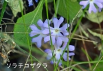 DSC_0670_moto_urakawa_sorachi_kozakura_1as.jpg