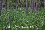 DSC_0792_hiroo_cho_oobana_no_enreso_gunraku_1as.jpg