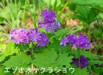 DSC_0801_hiroo_cho_ezo_oosakuraso_1as.jpg