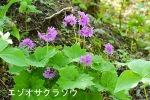 DSC_0828_hiroo_cho_ezo_oosakuraso_1as.jpg