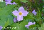 DSC_0833_hiroo_cho_shirane_aoi_1as.jpg