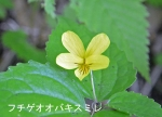 DSC_1115_poroto_ko_fuchige_ooba_kisumire_1as.jpg