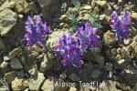 DSC_1831_1_alpine_toadflax_aa.jpg