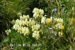 DSC_1847_1_yellow_milk_vetch_aa.jpg