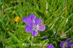 DSC_1878_1_wood_ranesbill_aa.jpg
