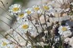 DSC_2186_1_alpine_sneezewort_aa.jpg