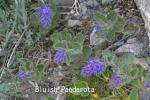 DSC_2318_1_bluish_paederota_aa.jpg