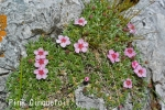 DSC_2458_1_pink_cinquetori_aa.jpg